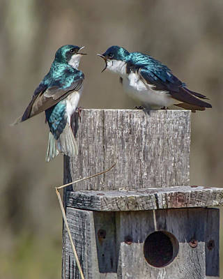 Photograph - Tree Swallows Screaming At Each Other by Ron Grafe