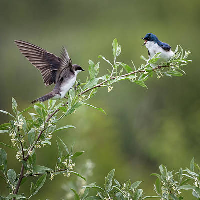 Photograph - Tree Swallows Square by Bill Wakeley