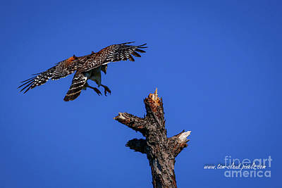 Photograph - Tree-top Approach by Tom Claud