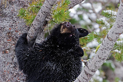 Photograph - Tree Top Bear by Mark Miller