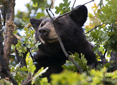 Black Bear Photograph - Tree-top Bruin by Mike Dawson