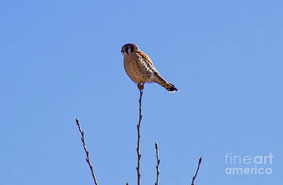 Photograph - Tree Top Kestrel by Steven Parker