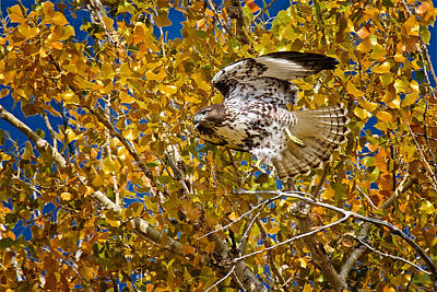 Photograph - Tree Top Launch, Northern Harrier Hawk by Flying Z Photography by Zayne Diamond