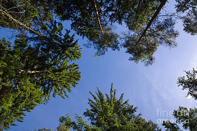Photograph - Tree Tops From Low Angle by Kennerth and Birgitta Kullman
