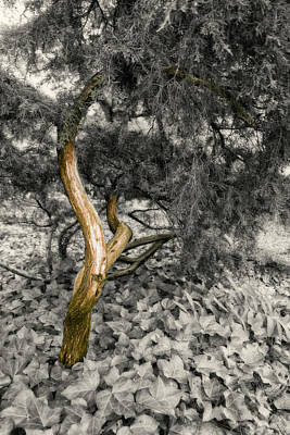 Photograph - Tree Trunk Bw Series 1125 by Carlos Diaz