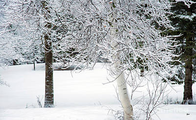 Photograph - Tree Trunks In The Snow by Alana Ranney