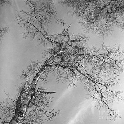 Trees Against Winter Original by Arni Katz
