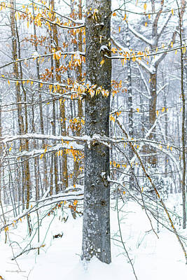 Photograph - Trees In Snow by Timothy Harris