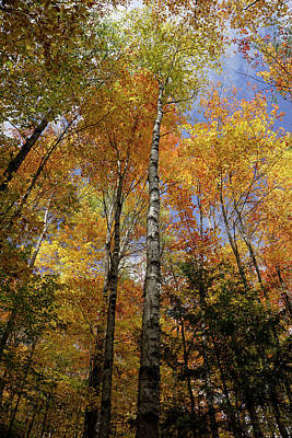Photograph - Trees On The Lincoln Woods Trail by Nancy De Flon