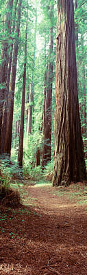 Forest Floor Photograph - Trees Redwood St Park Humbolt Co Ca Usa by Panoramic Images