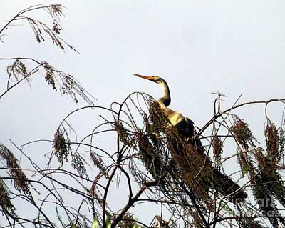 Photograph - Treetop Anhinga by Barbie Corbett-Newmin