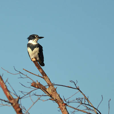 Photograph - Treetop Belted Kingfisher by Carla Parris