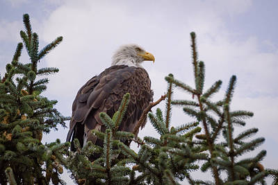 Photograph - Treetop Eagle by Keith Boone