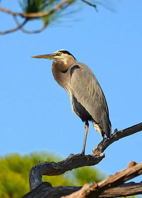 Photograph - Treetop Great Blue Heron by Carla Parris
