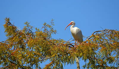 Photograph - Treetop Ibis by Carla Parris