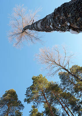 Photograph - Treetops_the Sky Is The Limit  by Ismo Raisanen