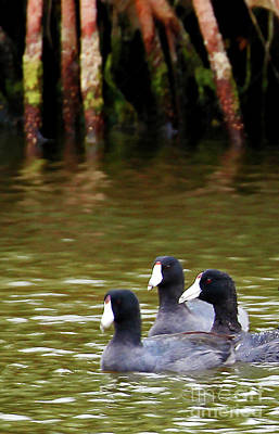 Coot Photograph - Tres Coots by Jennifer Robin