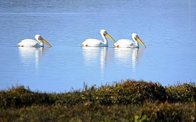 Photograph - Tres Pelicanos Blancos by AJ Schibig