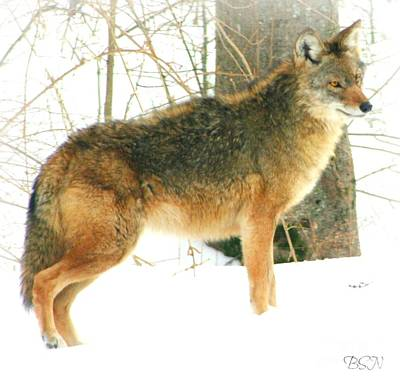 Photograph - Trespassing Coyote by Barbara S Nickerson