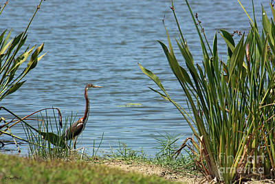 Photograph - Tri-color Heron by Terri Mills