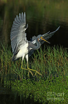 Tri-colored Heron Photograph - Tri Color With Snack by Deborah Benoit