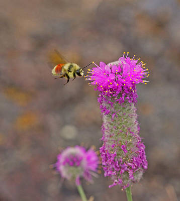 Pink Photograph - Tri Colored Bumblebee  by Gary Wing