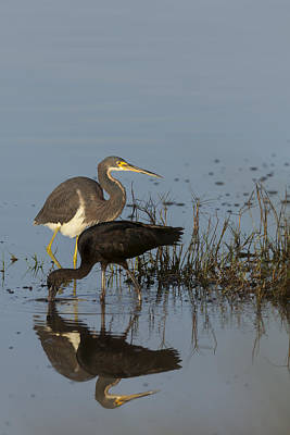 Tri-colored Heron And Glossy Ibis Art Print