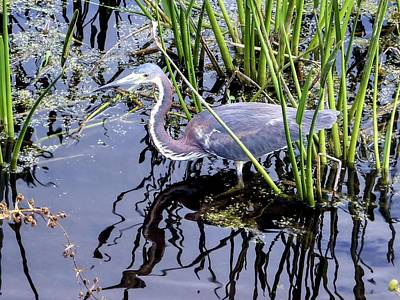 Photograph - Tri-colored Heron Green Cay Wetlands Florida by NaturesPix