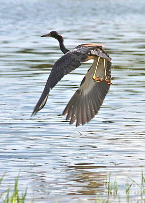 Tri Colored Heron Over The Pond Print by Carol Groenen