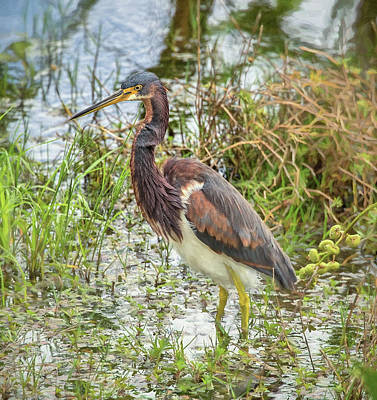 Photograph - Tri-colored Heron by Richard Goldman