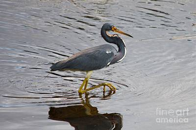 Tri-colored Heron Wading In The Marsh Art Print