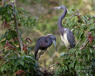 Photograph - Tri-colored Herons On The Nest by Myrna Bradshaw