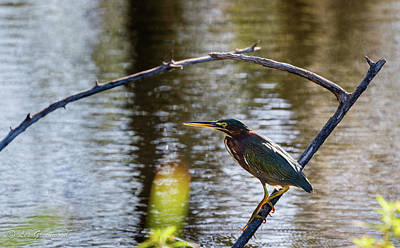 Photograph - Green Heron by Les Greenwood