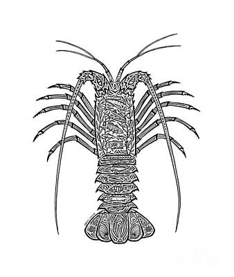 Marine Life Drawing - Tribal Spiny Lobster by Carol Lynne