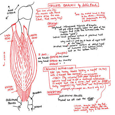 Drawing - Triceps Brachii by Julie Read