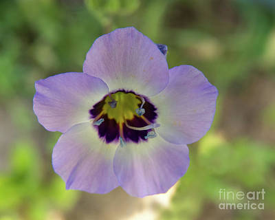 Photograph - Tricolor Flower by Christy Garavetto