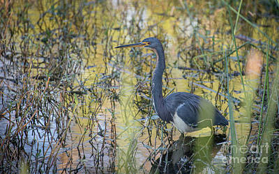 Popstar And Musician Paintings Royalty Free Images - Tricolor Heron Royalty-Free Image by Cathy Fitzgerald