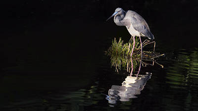 Photograph - Tricolor Heron Reflection by Don Durfee