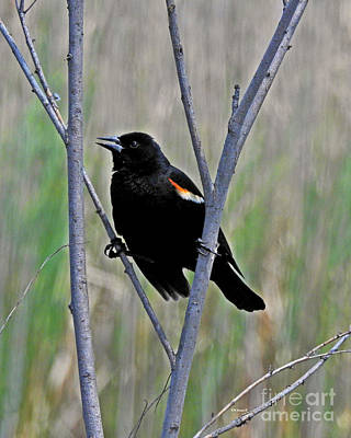 Photograph - Tricolored Blackbird by Kathy M Krause