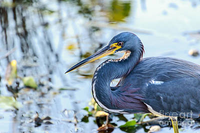 Photograph - Tricolored Heron 7 by Ben Graham