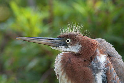 Tricolored Heron - Bad Hair Day Art Print
