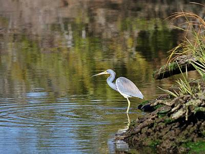 Tricolored Heron Fishing Print by Al Powell Photography USA