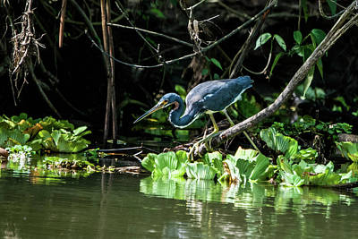 Advertising Archives - TRICOLORED HERON, grtta tricolor, Costa Rica, 2015 by Wayne Higgs