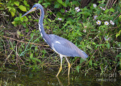 Asters Photograph - Tricolored Heron Hunting by Mike Dawson