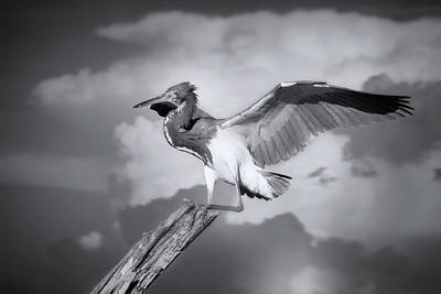 Photograph - Tricolored Heron In Black And White by Mark Andrew Thomas