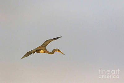 Tricolored Heron In Flight Art Print by Louise Heusinkveld