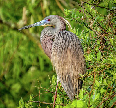 Photograph - Tricolored Heron by Jane Luxton
