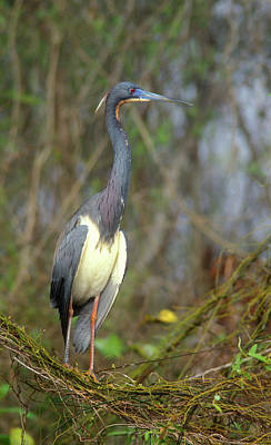 Photograph - Tricolored Heron by John Burk
