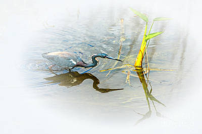 Photograph - Tricolored Heron On The Prowl by Rene Triay Photography