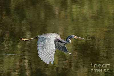 Heron Photograph - Tricolored Heron Over Green Pond by Carol Groenen